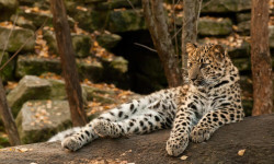 top-5-most-rare-animals-in-the-world-amur-leopard